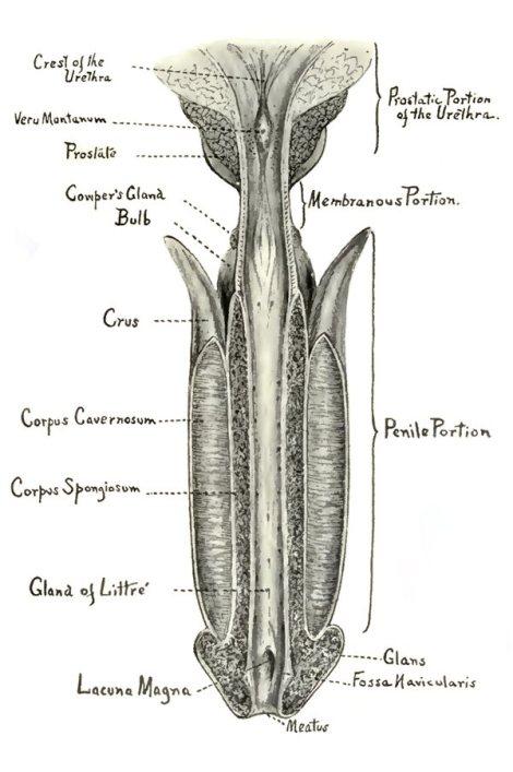 Anatomía de la Uretra y del Pene (Koll, 1918)