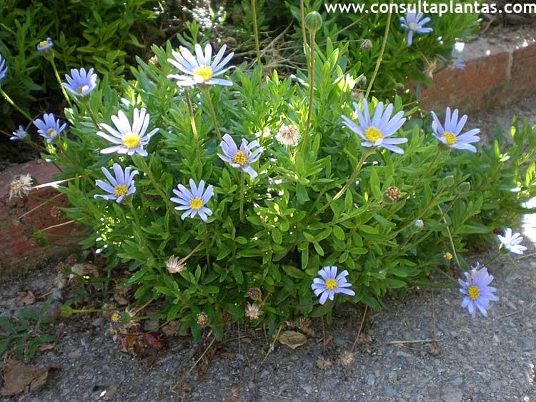 Felicia amelloides Margarita azul o Agatea  Cuidados