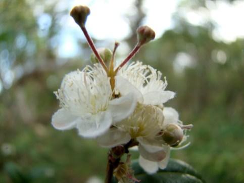 A midyim flower