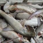Abandonan al menos 86 tiburones muertos en carretera de suroeste mexicano