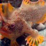 """Descubren una pequeña población de peces que """"caminan"""" en el sur de Australia"""