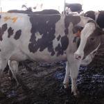 Las altas temperaturas reducen fuertemente fertilidad de las vacas en México