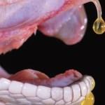 Veneno de víbora de cascabel podría funcionar como antibiótico