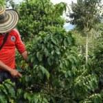Cafeteros colombianos piden a Gobierno medidas ante dificultades en el sector