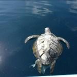 Muerte de centenares de tortugas en El Salvador fue por ingesta de biotoxinas