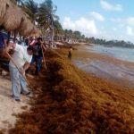 Usar sargazo como biofertilizante evita contaminación de playas de México
