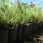 Plantarán 8 millones de árboles en Durango
