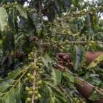 La producción de café en Colombia aumentó un 3,6 % en junio de este año