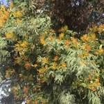 El muérdago, una plaga que afecta al 10% de los árboles del país