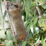 Avistan una rara especie de roedor en las cercanías de Machu Picchu