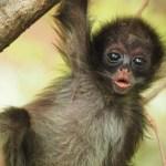 Nace en zoológico de Medellín un mono araña, especie en peligro de extinción
