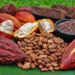 Nicaragua acogerá congreso internacional del cacao fino