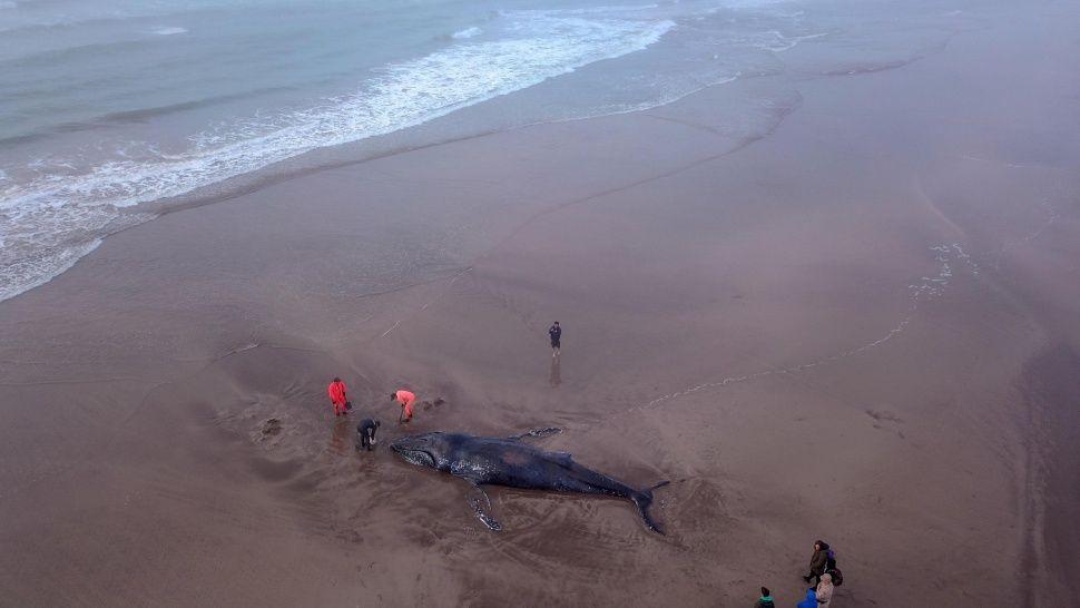 Vecinos intentan salvar a ballena encallada en Mar Del Plata