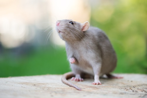 Pet Rats Responsible for Seoul Virus Outbreak in Midwest