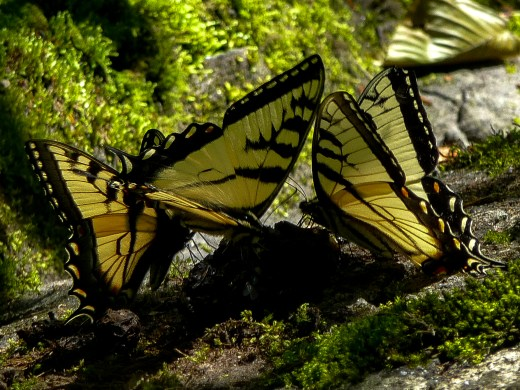Tiger Swallowtail on Poop
