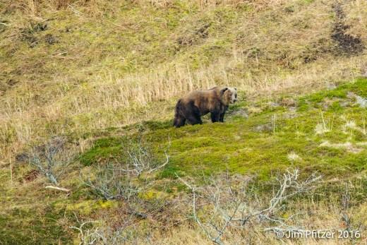 big-brown-bear-7