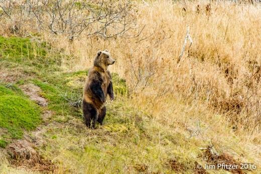 Big Brown Bear.jpg