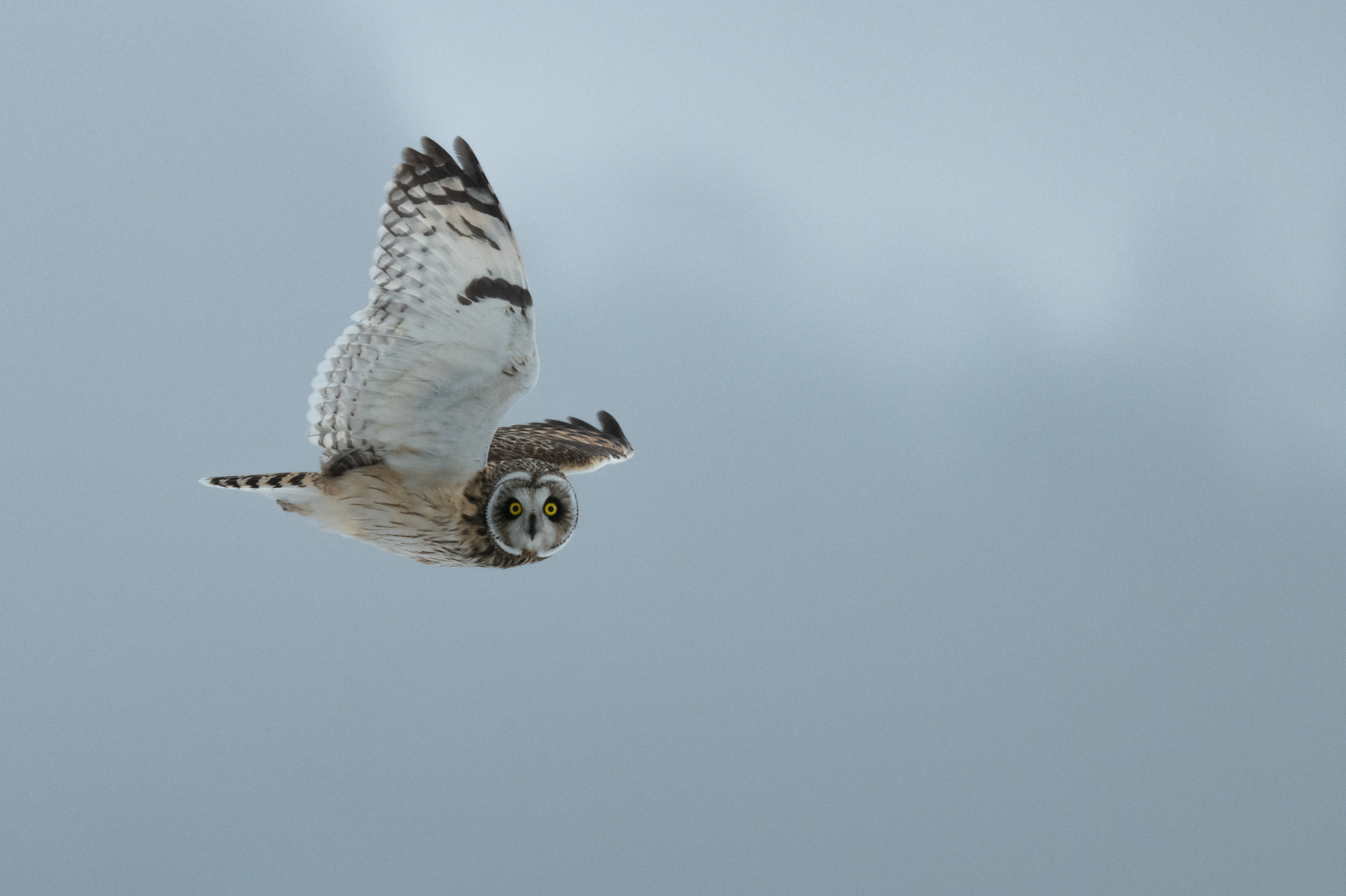 Owl in Winter Wind