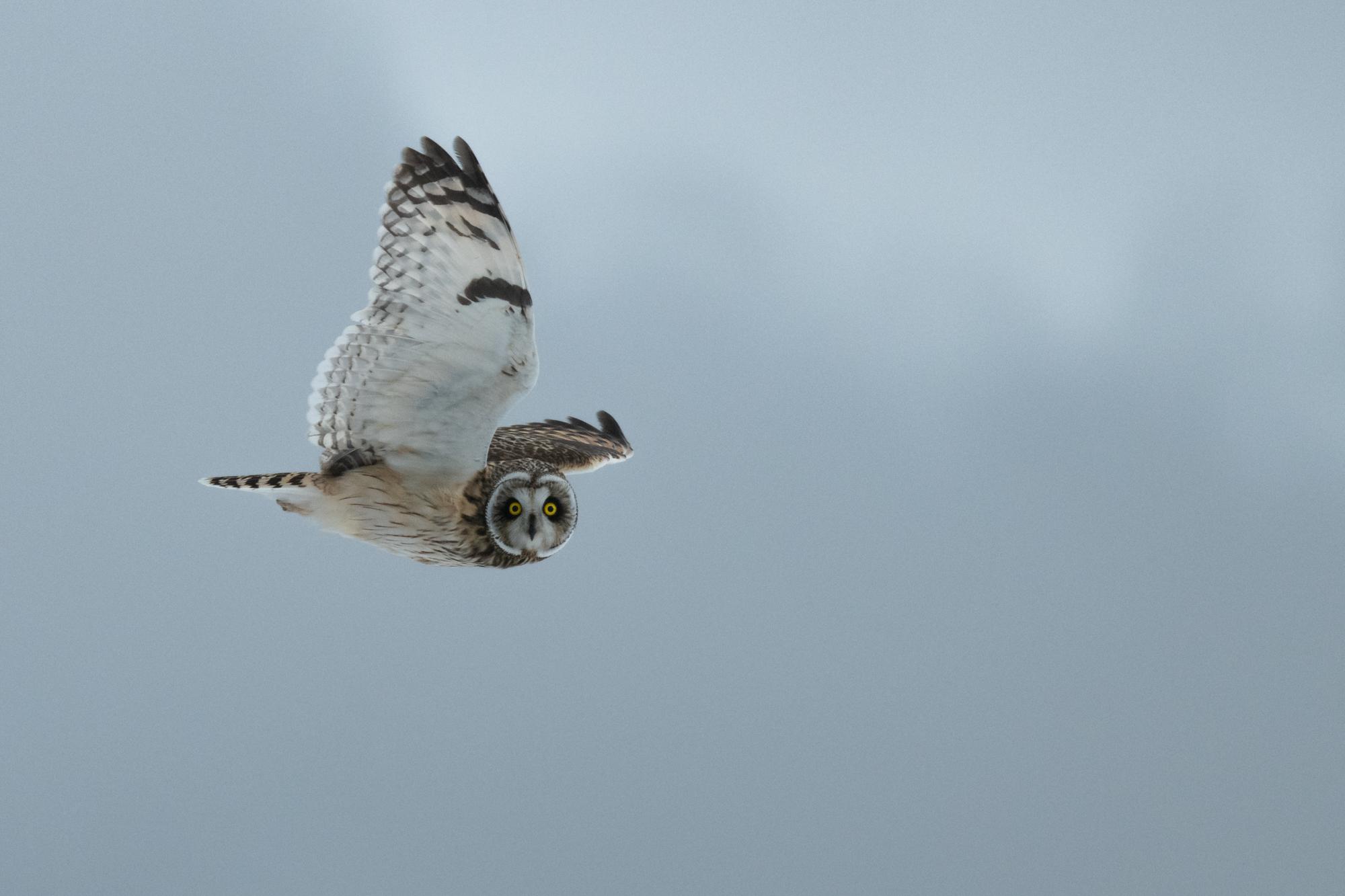 Owl in Winter Wind