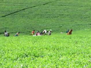 Tea harvesters