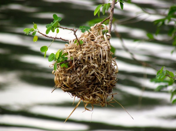 Weaver Bird nest (2)