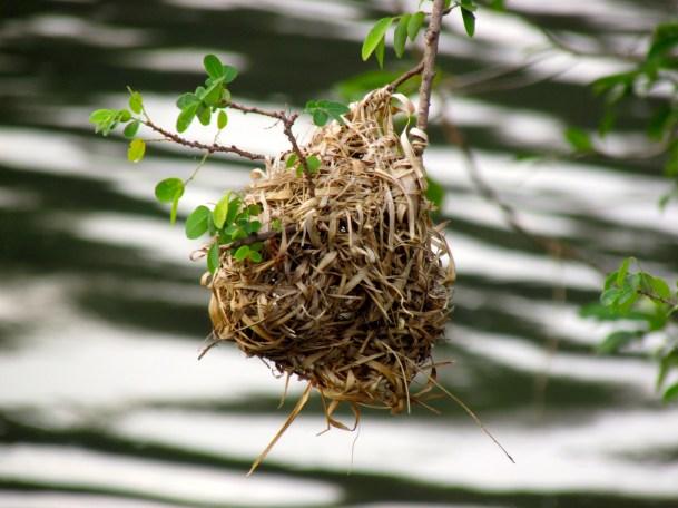 Weaver Bird nest (2)