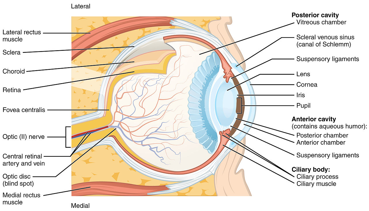 hight resolution of the sense of vision