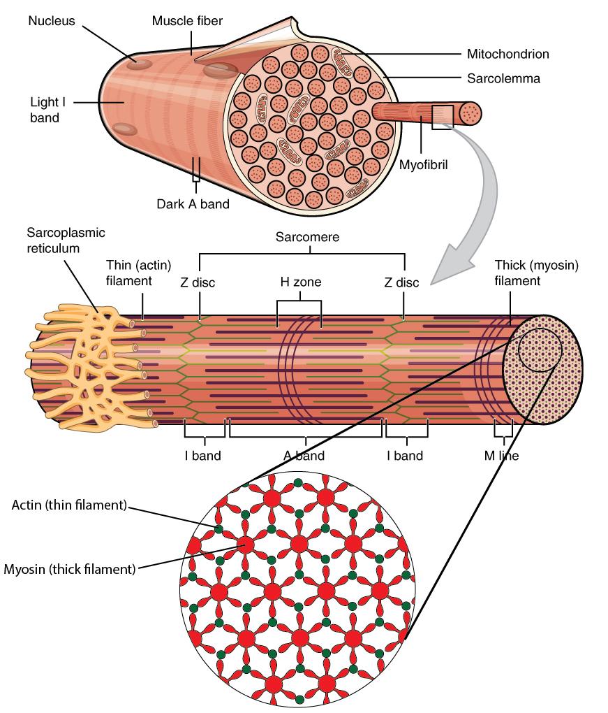 medium resolution of muscle fibers