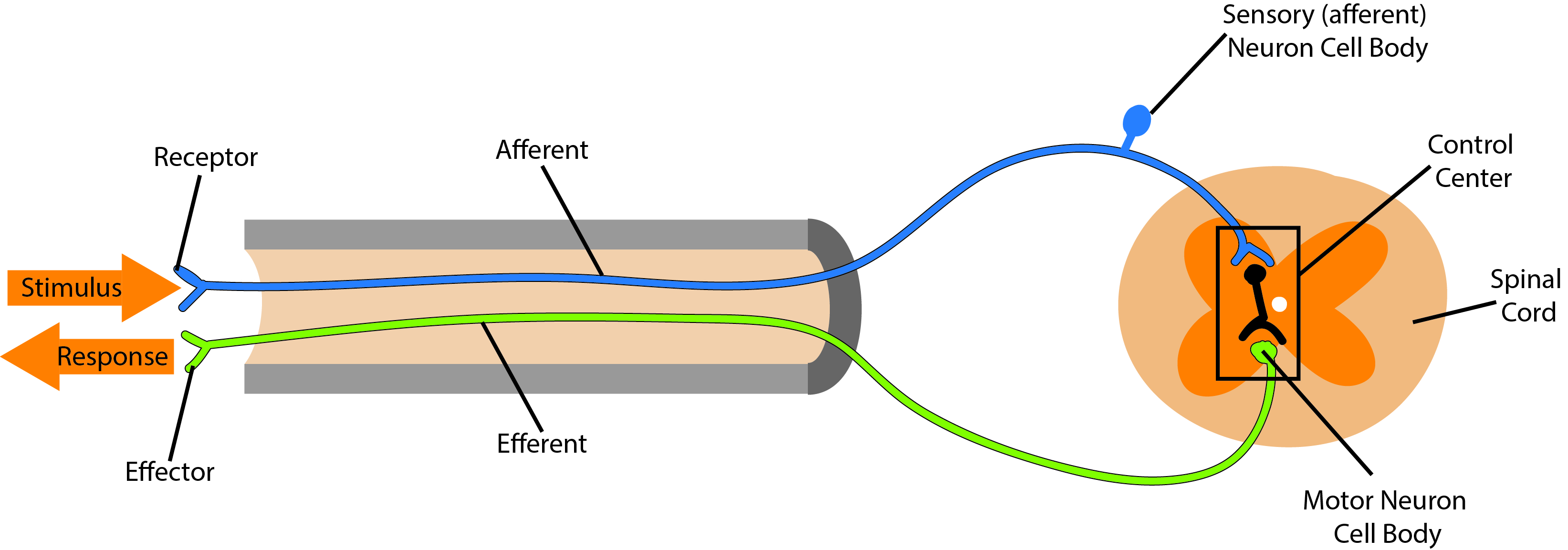 diagram of a simple reflex arc telecaster wiring treble bleed reflexes