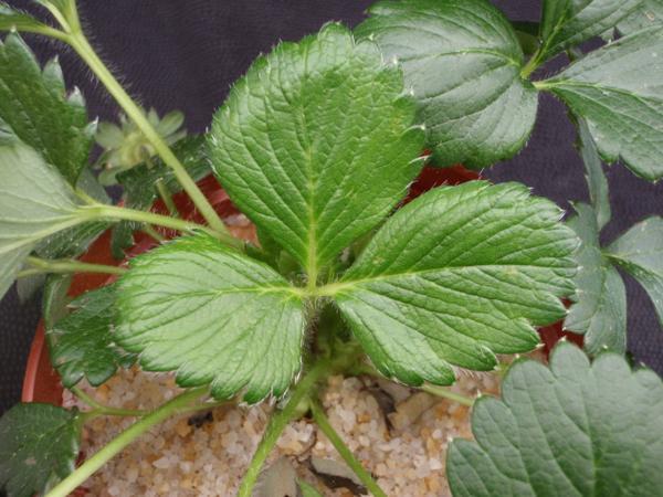 Strawberry Zinc (Zn) Deficiency