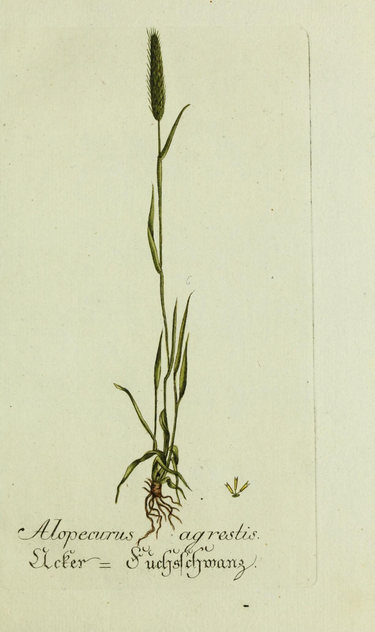 slender meadow foxtail - Encyclopedia of Life