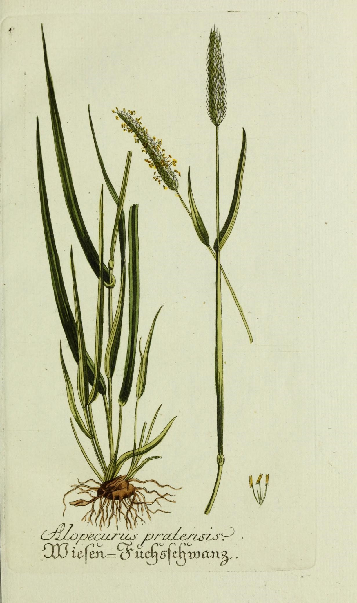 meadow foxtail - Encyclopedia of Life