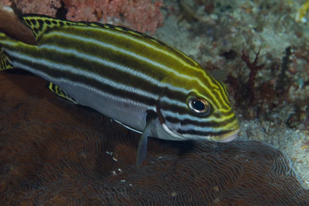 medium resolution of plectorhinchus gaterinus