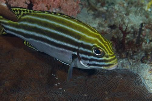 small resolution of plectorhinchus gaterinus