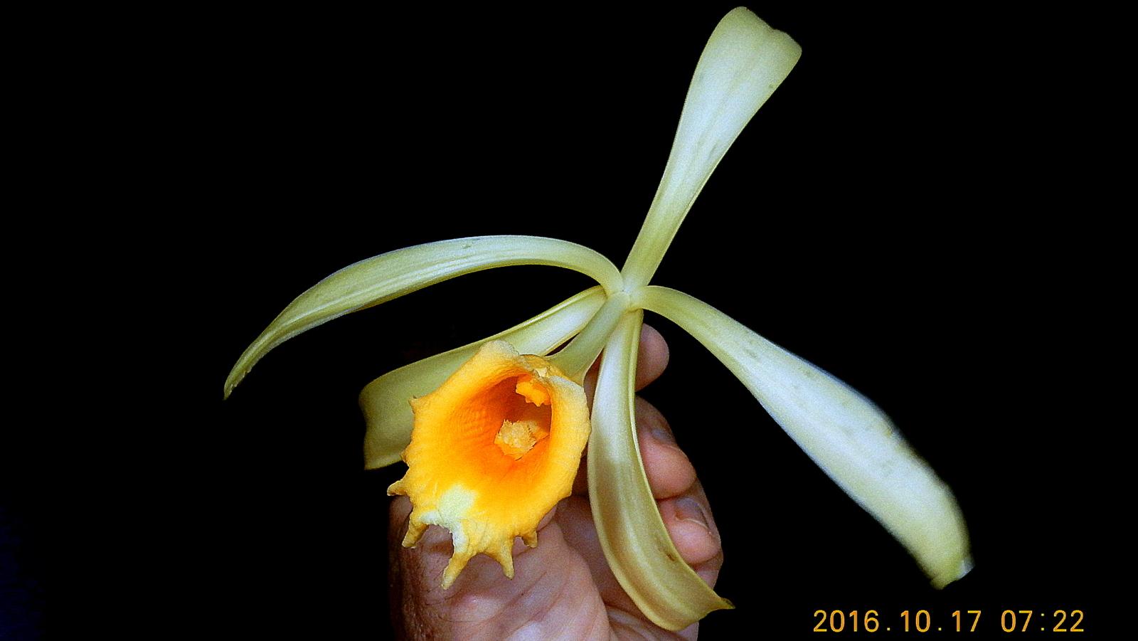 hight resolution of vanilla pompona