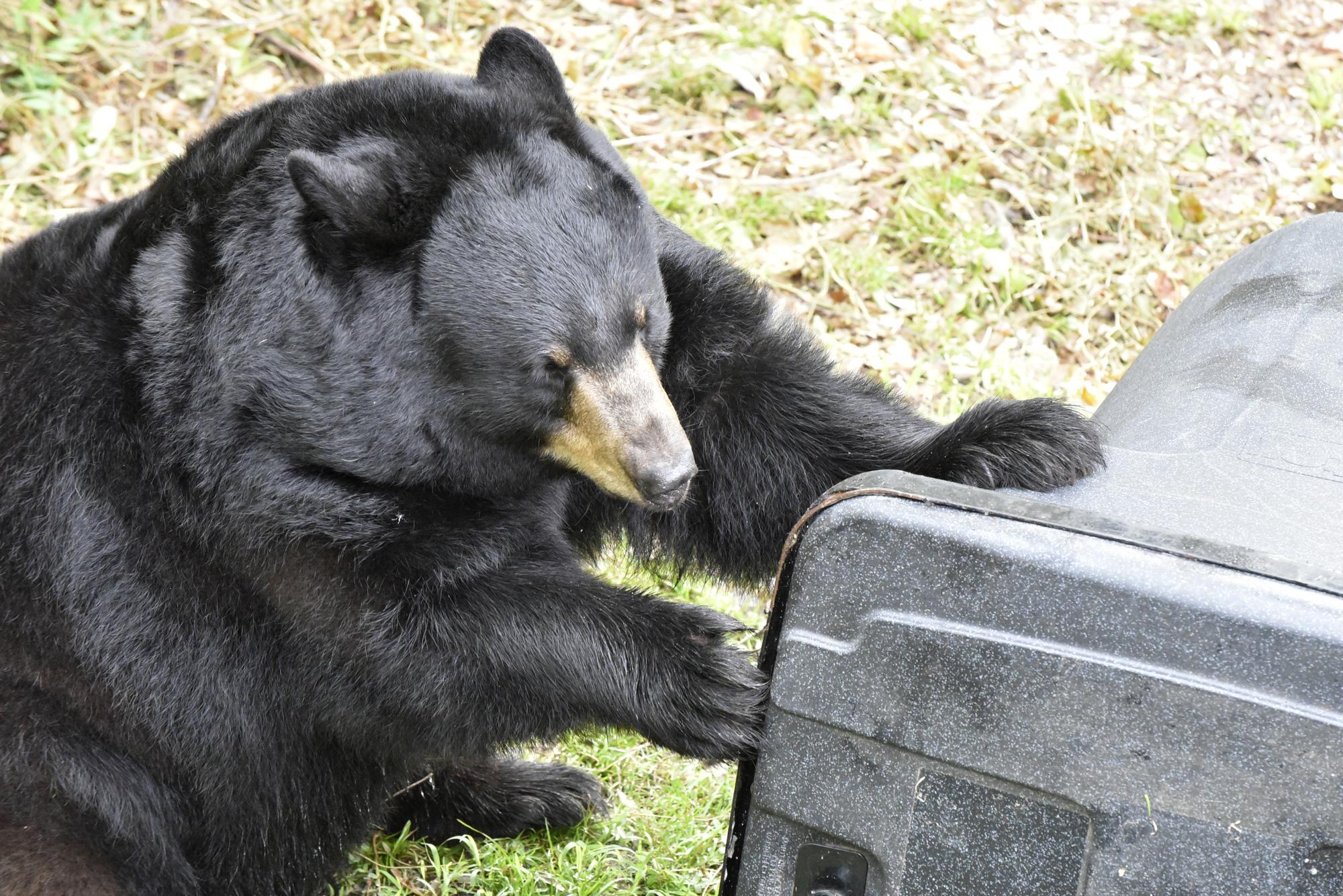 Springtime Spurs Activity For Florida Black Bears