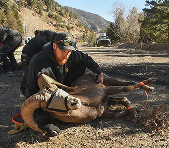 bighorn sheep captured