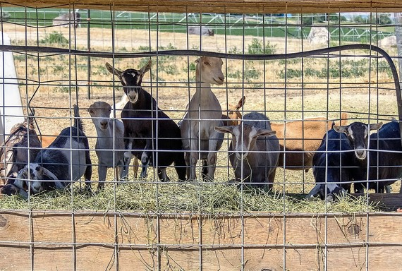 Growing a Goat Dairy