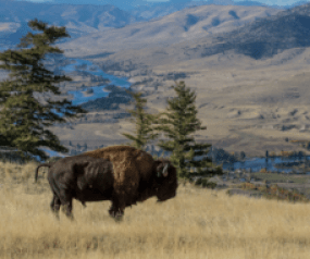 A bison at National Bison Range in Montana by Dave Fitzpatrick/USFWS.