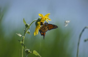 Monarch butterfly by Kristin Terwilliger/USFWS