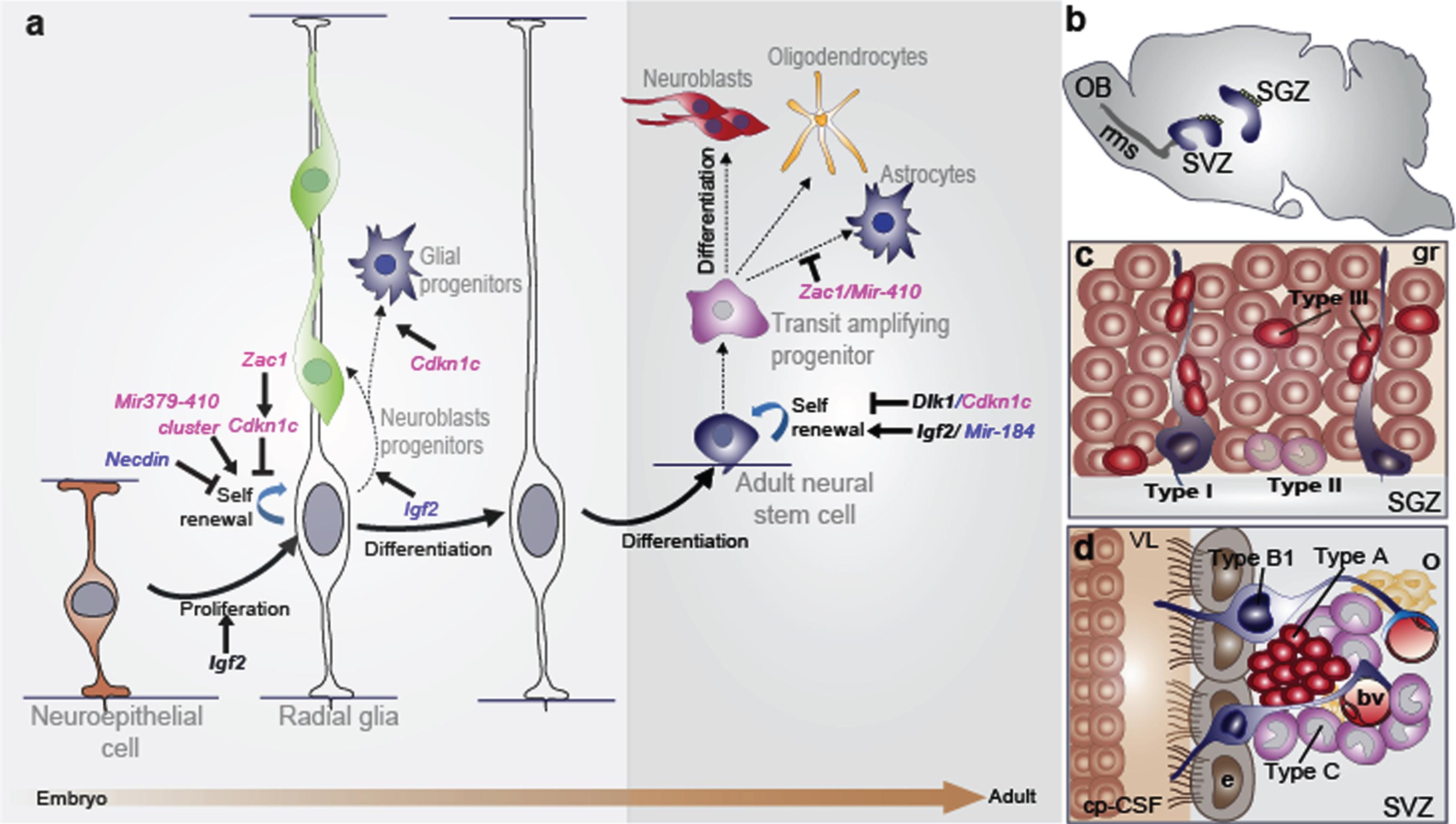 Cells Plexus Csf Choroid