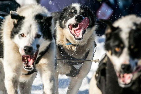 2014 Iditarod Trail Dog Sled Race – Photos
