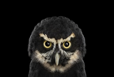 Studio portraits of owls