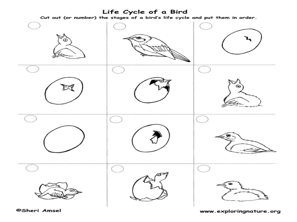 Worksheet Life Cycle Bird
