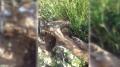 سليانة : تسجيل أول ولادات للغزال الأطلسي في البرية