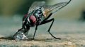 الصحة العالمية: الذباب لا ينقل عدوى كورونا للإنسان