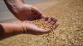 الجزائر تستورد 30 الف طن من القمح السام