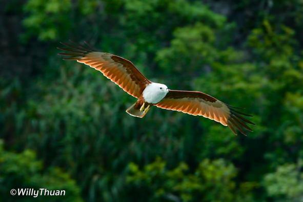 phang-nga-bird