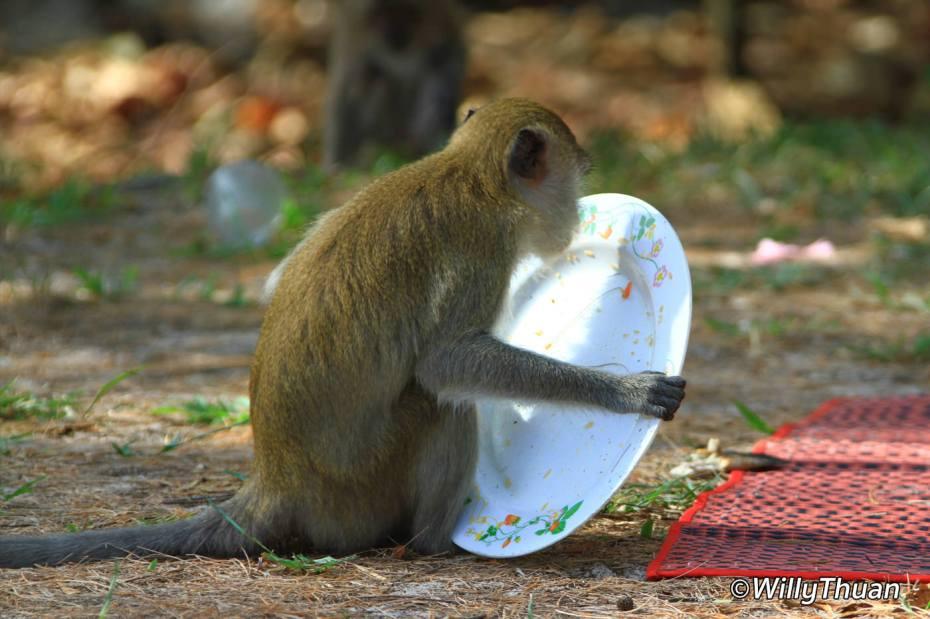 monkey-phuket-town