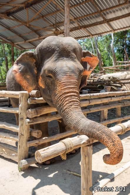 elephants-phuket